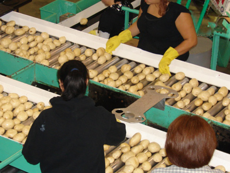 Double-N workers sorting red potatoes